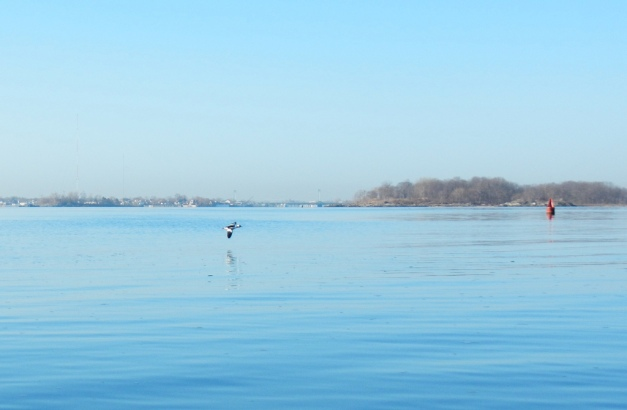 A lone bufflehead flies over patches of thin ice