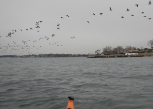 Lift your paddle and a few birds panic—then, the whole flock goes.