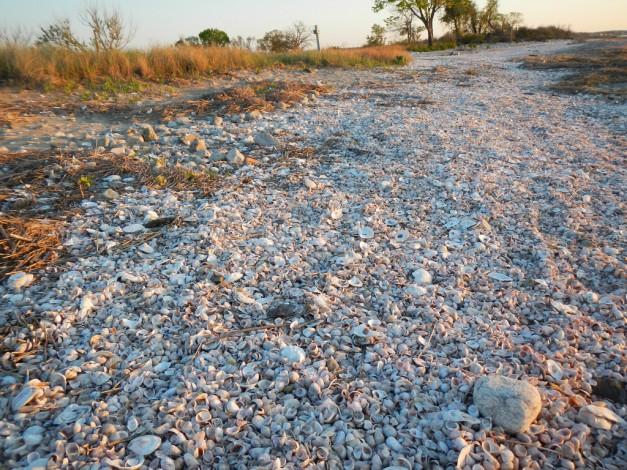 Shea Island shells