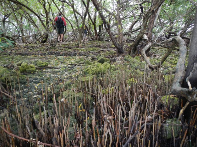 Seeking relief (ahem) on a black mangrove island