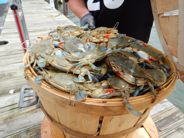 Chesapeake crabs, next seen on your NYC dinner plate