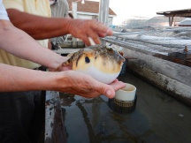 We still don't know why this puffer fish is here… keeping the crabs company?